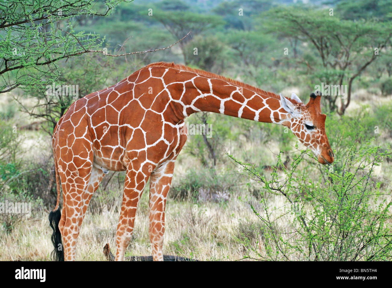 Reticulated Giraffe eating leaves. Picture taken in Samburu Game Reserve, Kenya, East Africa. Stock Photo
