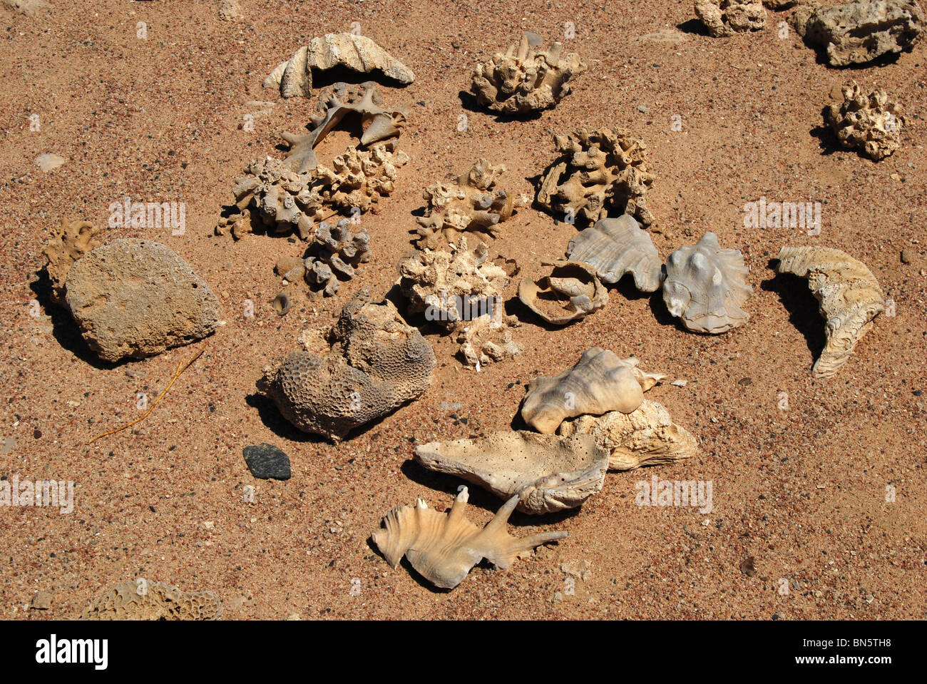 bits of shell and coral in nabq bay 2934 - Stock Image
