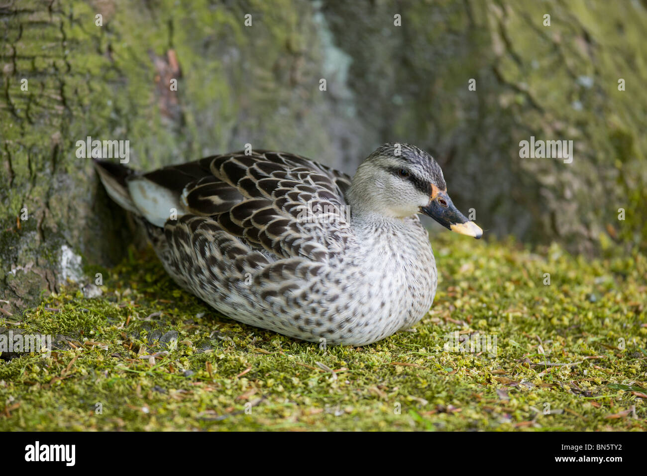 Indian spot billed Duck or Spotbill - Anas poecilorhyncha - Stock Image