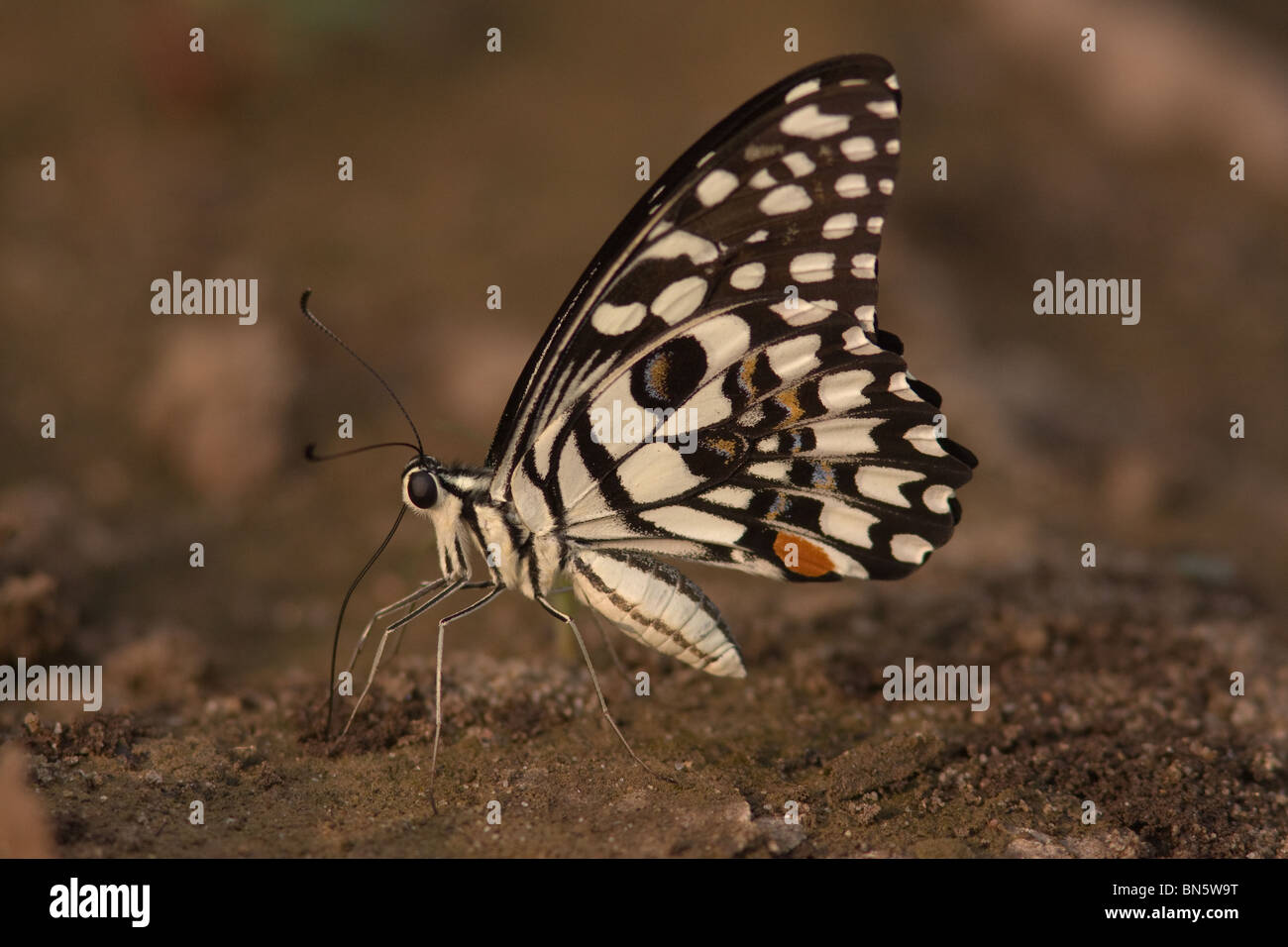 Lime Butterfly or Common Lime (a beautiful butterfly) sitting on the ground and mud-puddling - A high contrast image Stock Photo