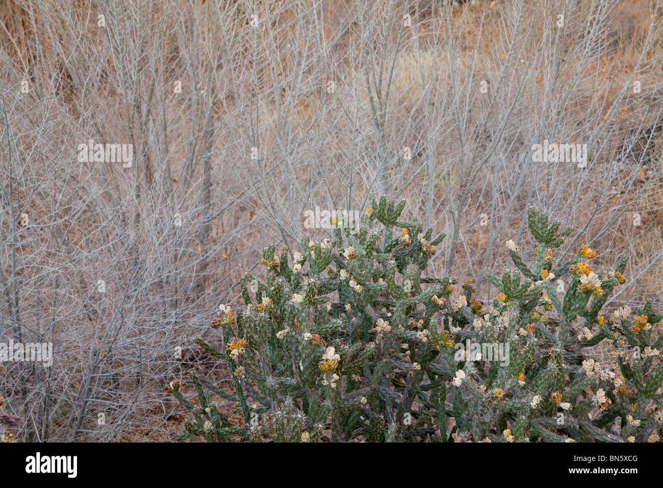 cactus & brush in California desert - Stock Image