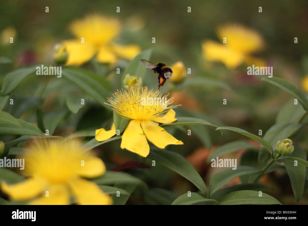 Bumble Bee Visiting The Yellow Flowers Of Rose Of Sharon Aarons