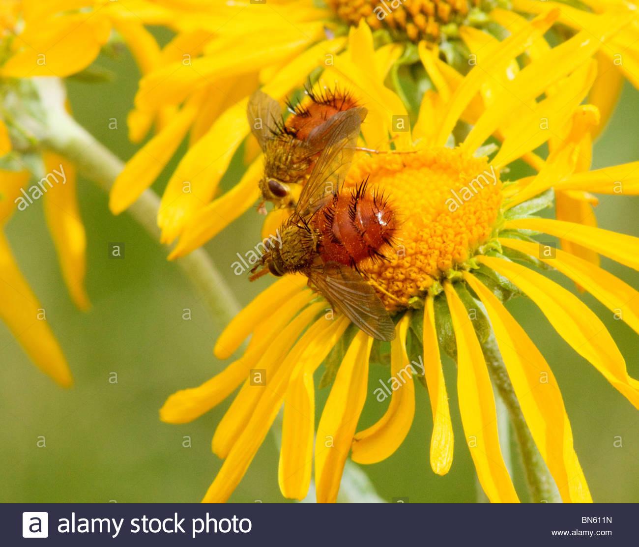 "Tachinid Fly Diptera Tachinidae ""New Mexico"" Stock Photo"