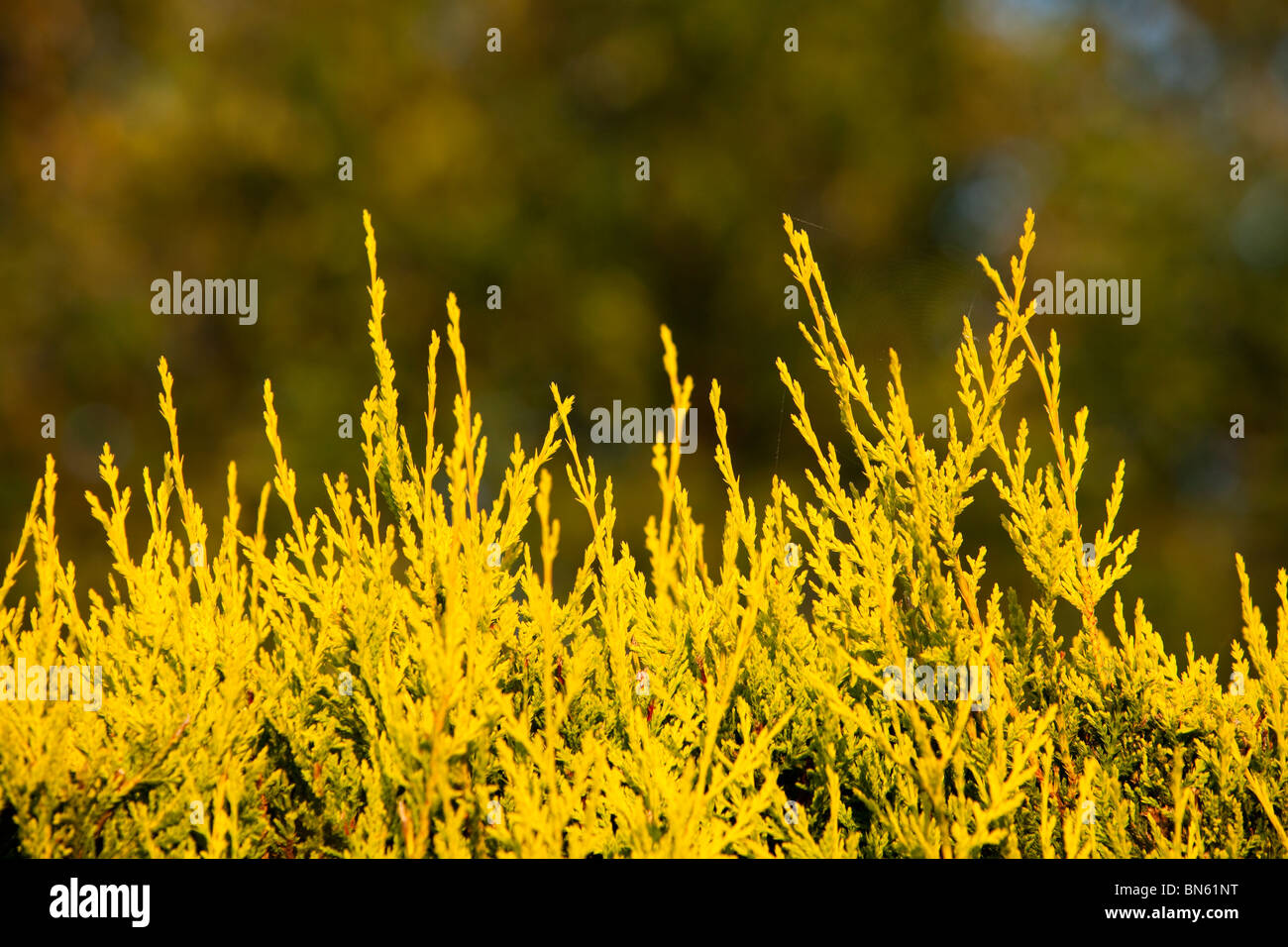 A sprouting conifer hedge. - Stock Image