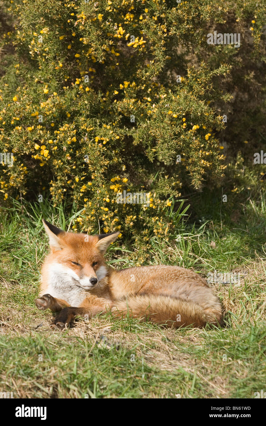 Red Fox (Vulpes vulpes). Resting and snoozing in the open, mid-day, in front of a Gorse bush (Ulex europaeus). - Stock Image