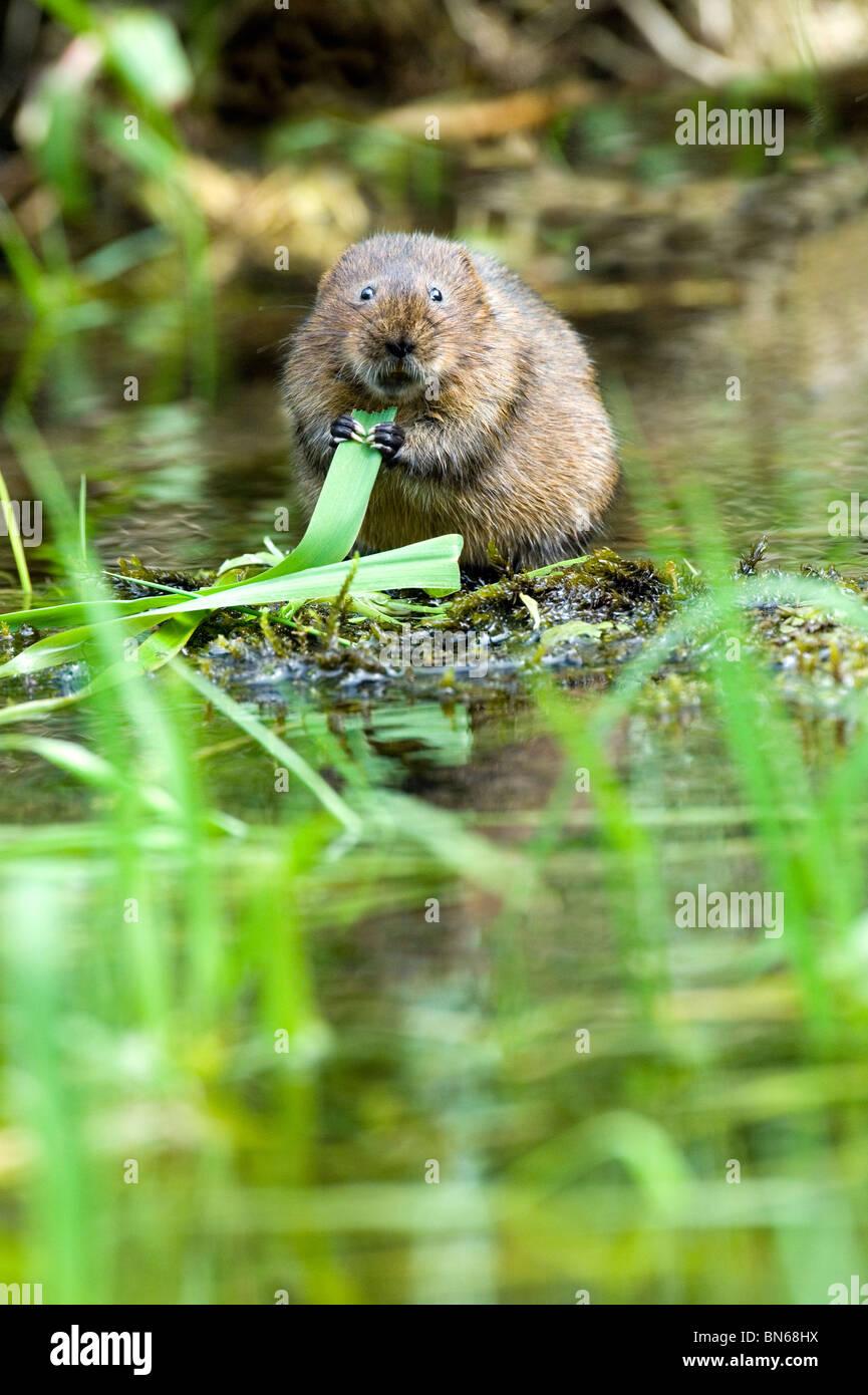 Water vole (Arviucola terrestris) - Stock Image