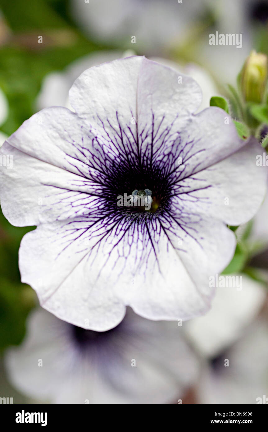 Petunia white flower with purple center in a garden in the uk stock petunia white flower with purple center in a garden in the uk izmirmasajfo