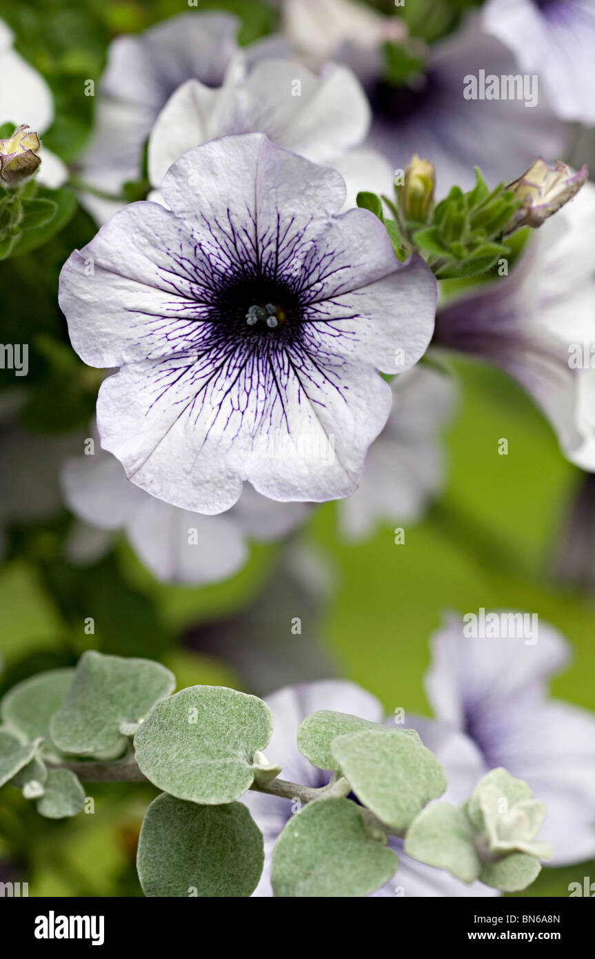 Petunia White Flower With Purple Center In A Garden In The Uk Stock