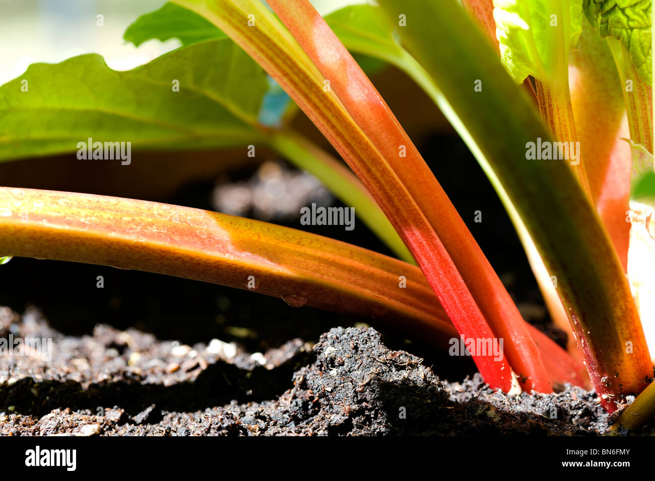 RHUBARB, A PERENNIAL PLANT WITH STALKS THAT ARE GREENISH PINK TO DARK RED IN COLOUR. A VEGETABLE BUT ALWAYS SERVED - Stock Image