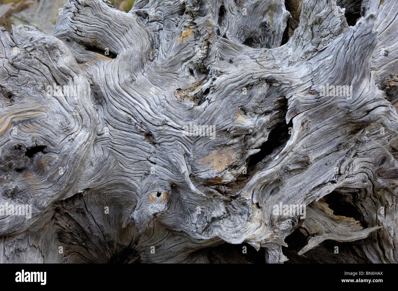 Dead tree root, Idaho, USA - Stock Image