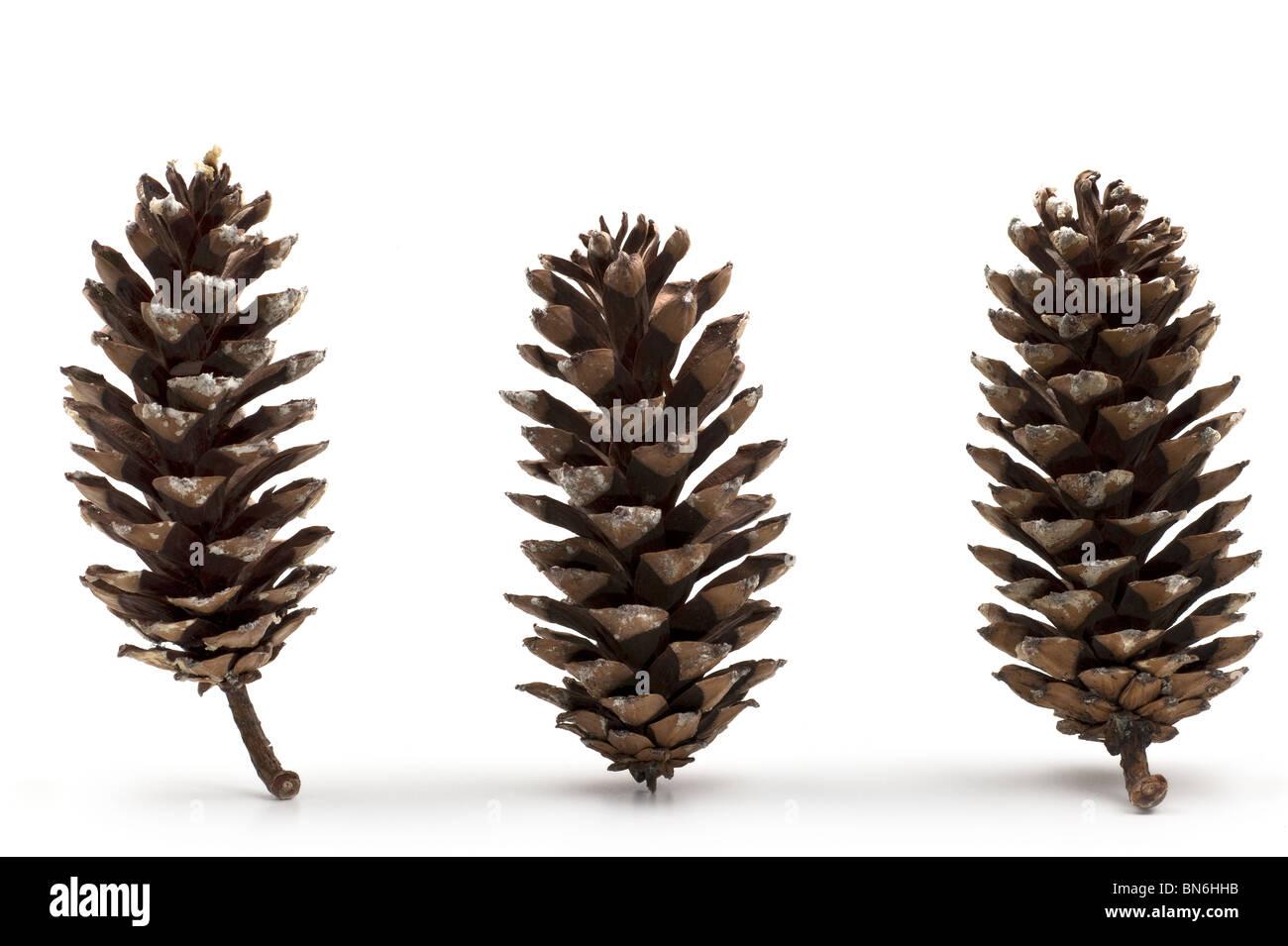 Three upright open  pine cones - Stock Image