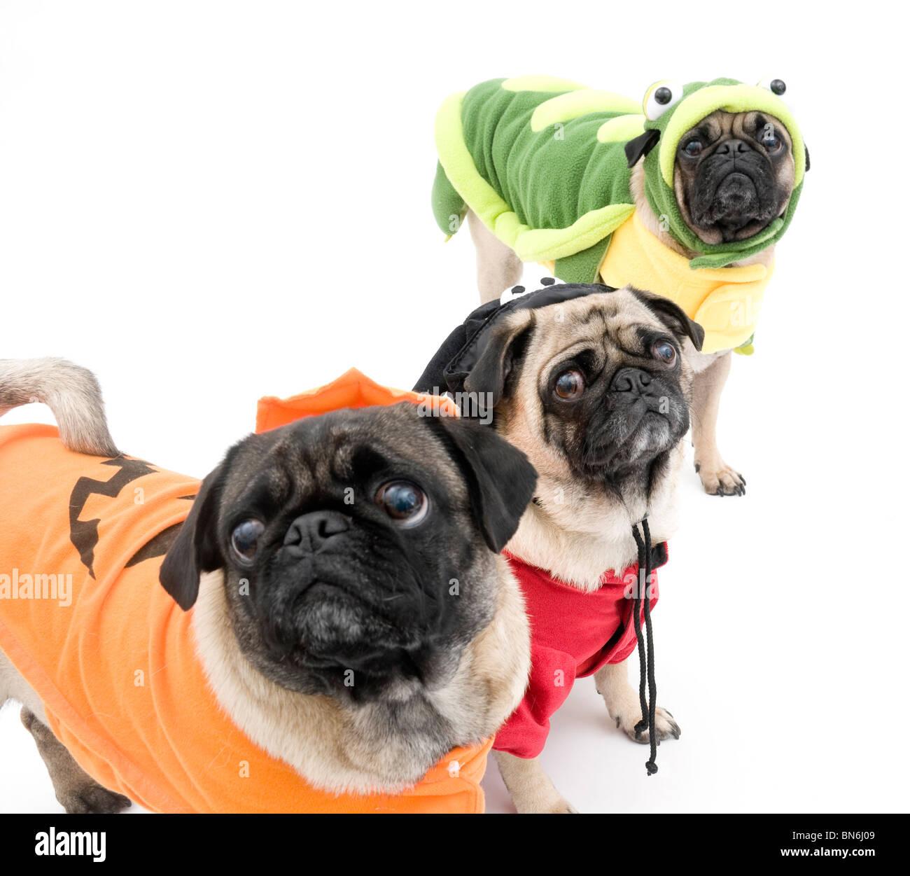 Three Pugs Dressed Up for Halloween - Stock Image