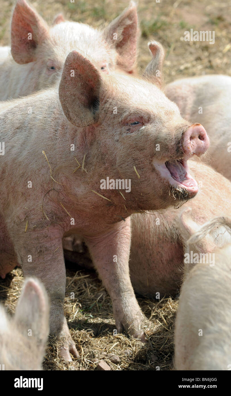 YOUNG PIGS AND PIGLETS AT A BRITISH FARM,UK - Stock Image