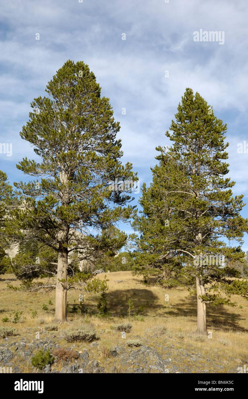 Whitebark Pine trees, Pinus albicaulis, White Cloud Mountains, Rocky Mountains, Idaho, USA - Stock Image