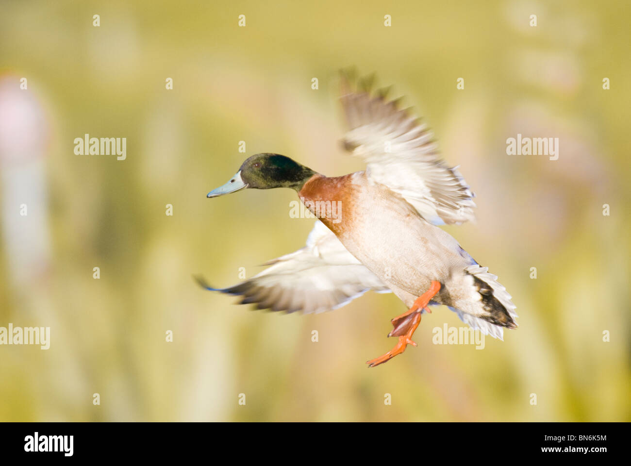 Male Mallard Duck  Anas platyrhynchos flying New Zealand - Stock Image