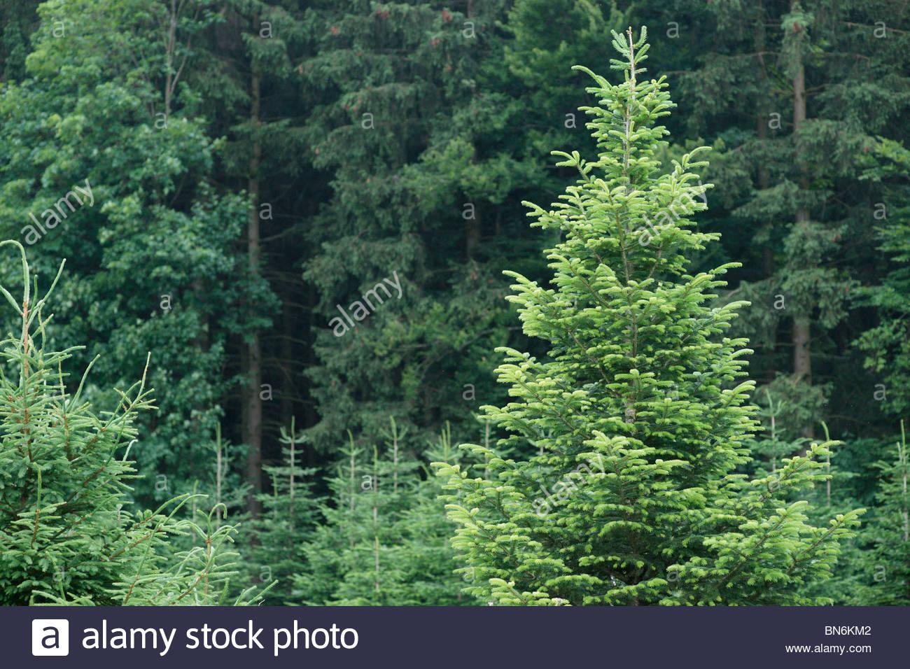 Pine trees growing Bavaria Germany - Stock Image