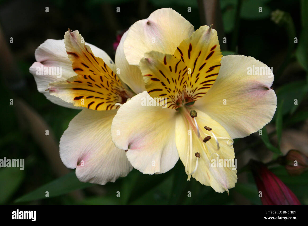 Peruvian Lily Alstroemeria aurea Taken At Martin Mere WWT, Lancashire UK Stock Photo