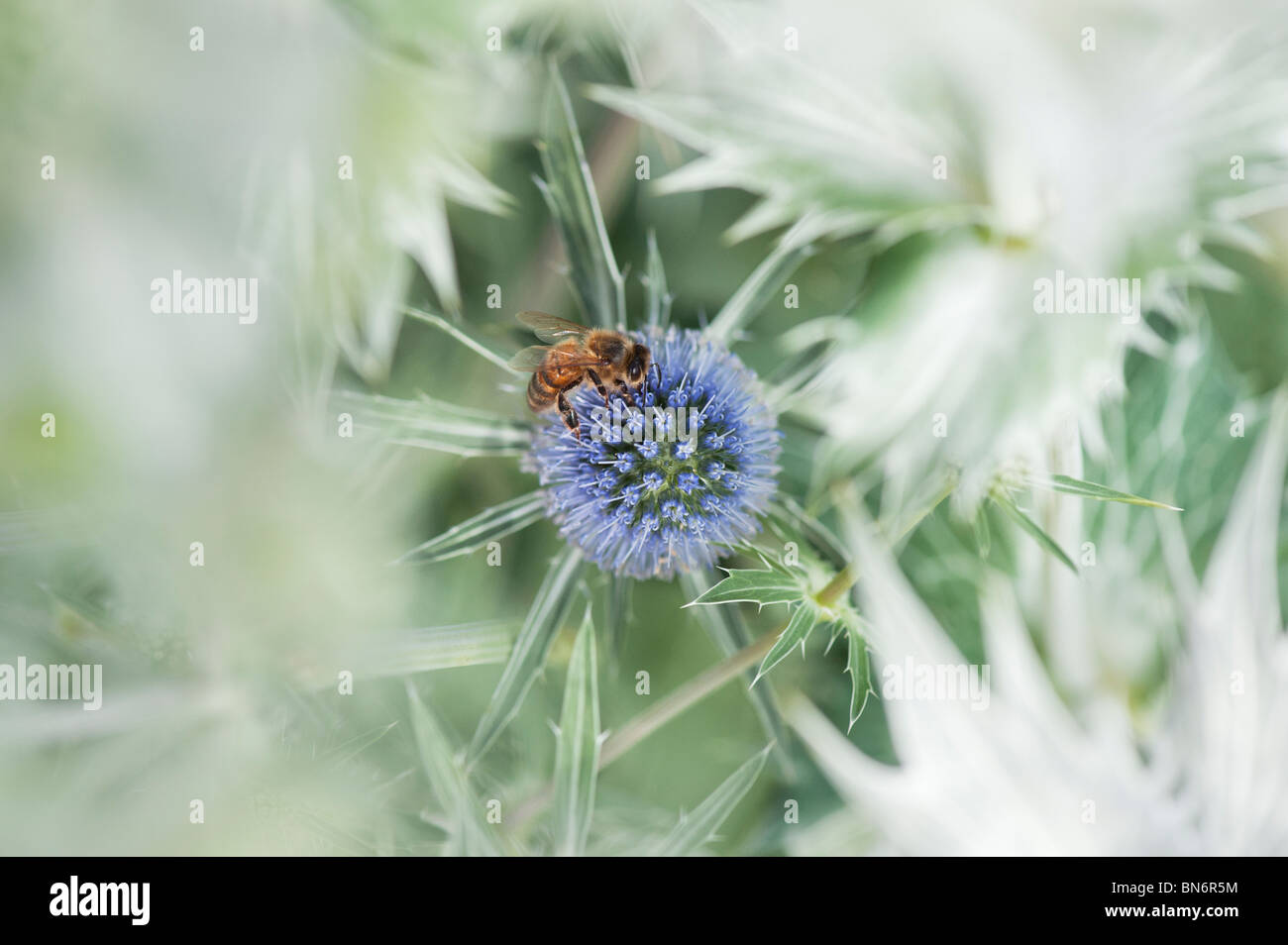 Honey Bee on Eryngium x zabelii Jos Eijking Sea holly in an English country garden - Stock Image