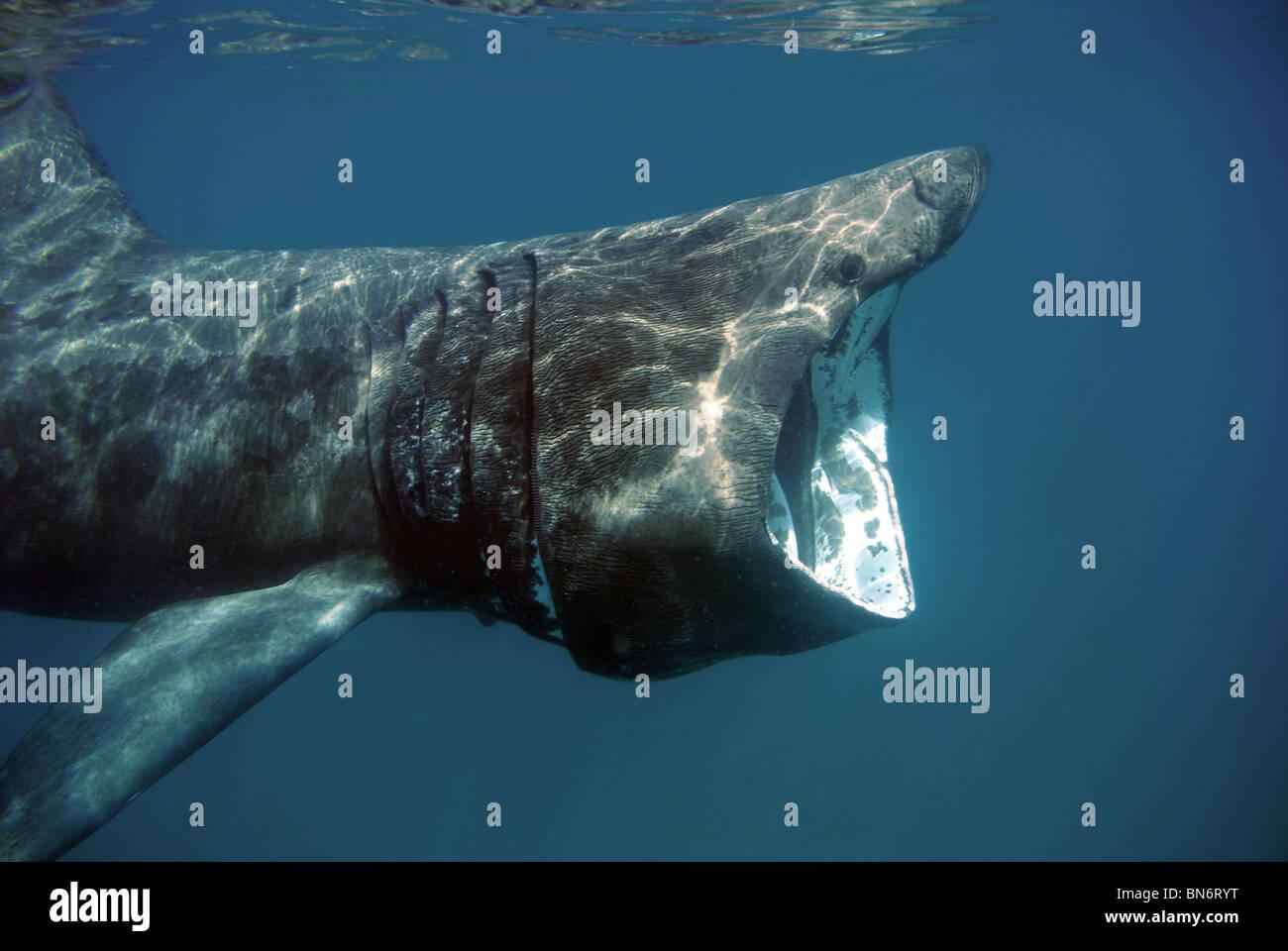 Basking shark gorging on Plankton at Sennen Cove, England - Stock Image