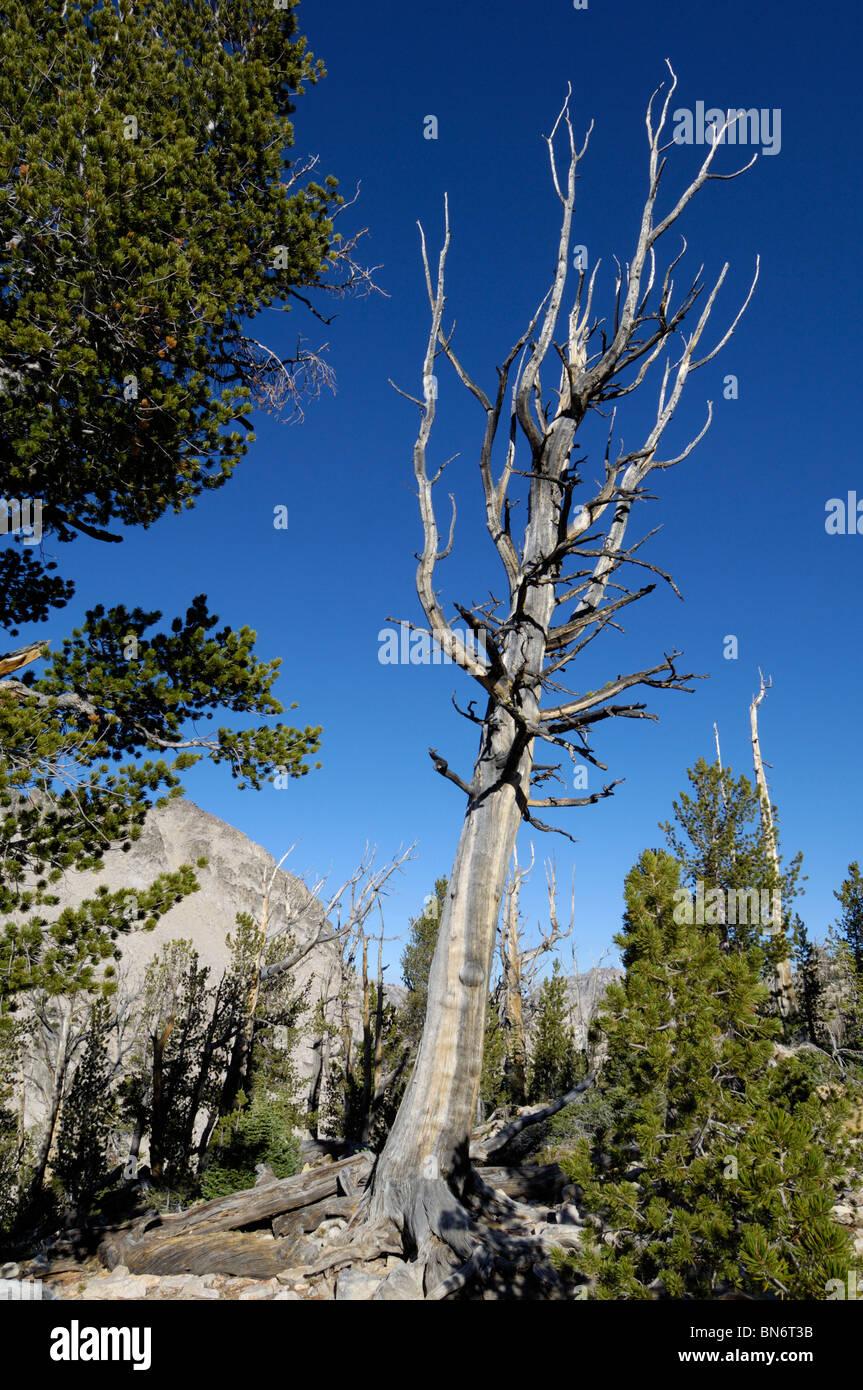 Dead tree, Sawtooth Mountains, Sawtooth Wilderness / Sawtooth National Recreation Area, Rocky Mountains, Idaho, Stock Photo