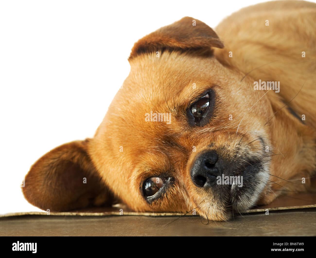 Sleepy Doggy is lying on the floor, - Stock Image