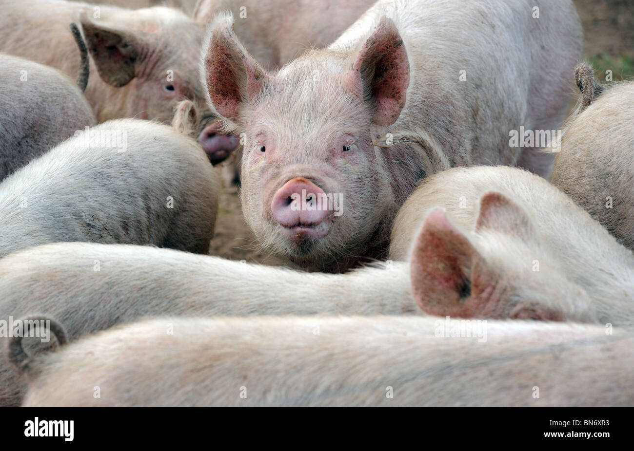 YOUNG PIGS AND PIGLETS AT A BRITISH FARM RE FARMING INCOMES FOOD PRICES SUPERMARKETS ANIMAL WELFARE PRODUCTION COSTS - Stock Image