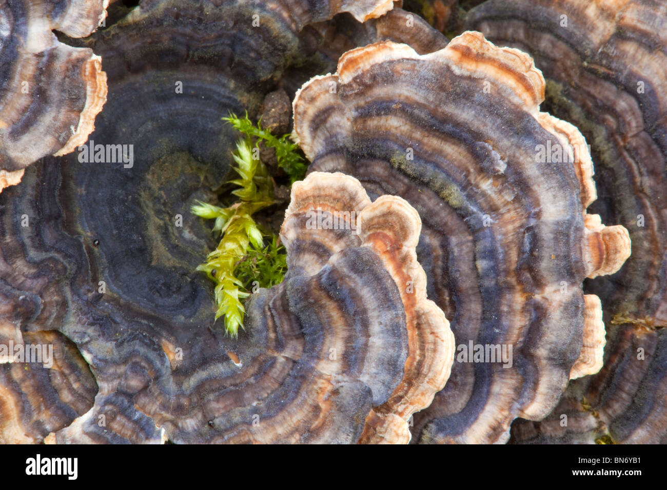 Many Zoned Polypore; Coriolus versicolor - Stock Image