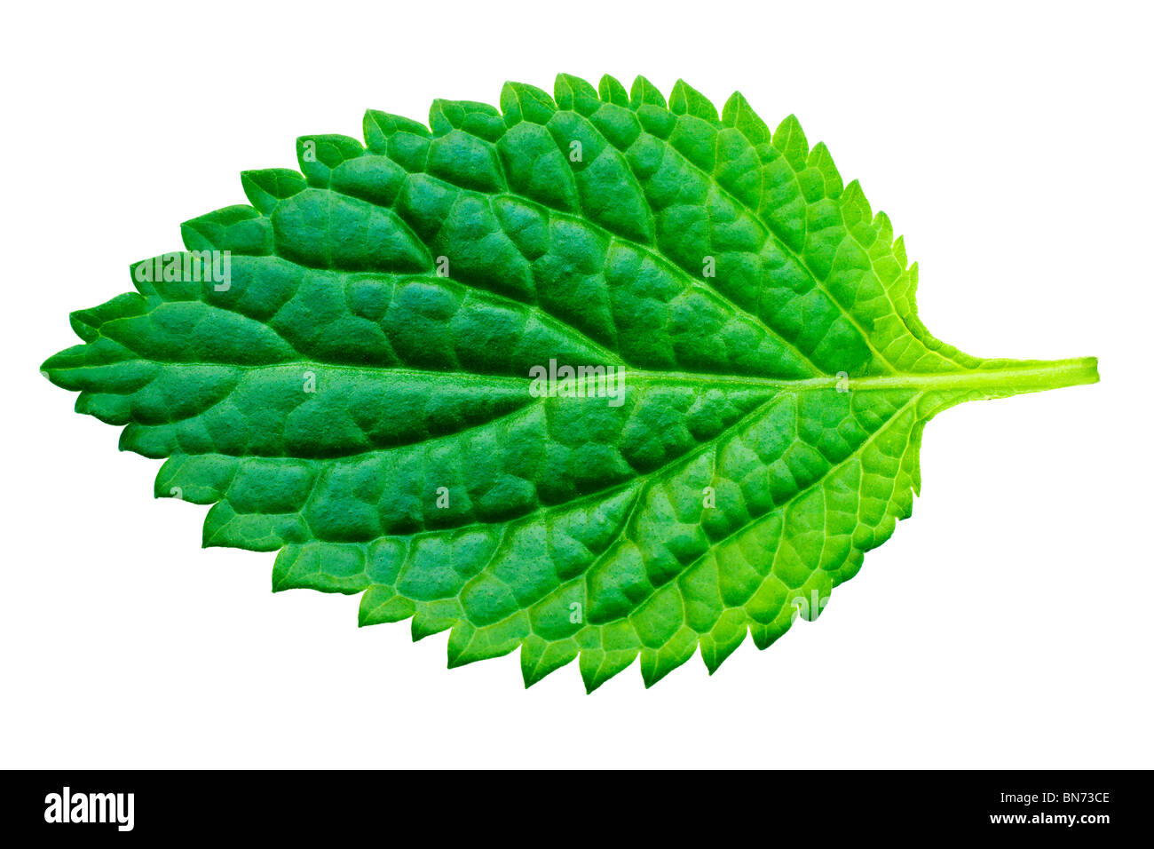 A beautiful lush green leaf. Isolated over white with clipping path. - Stock Image
