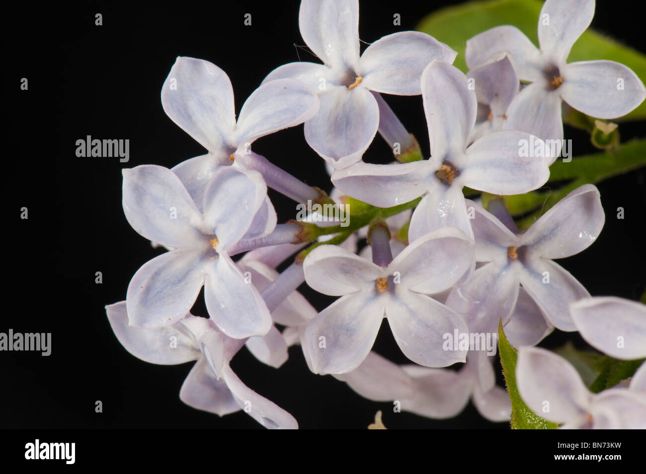 Lilac (Syringa vulgaris) lilac florets against a black background - Stock Image