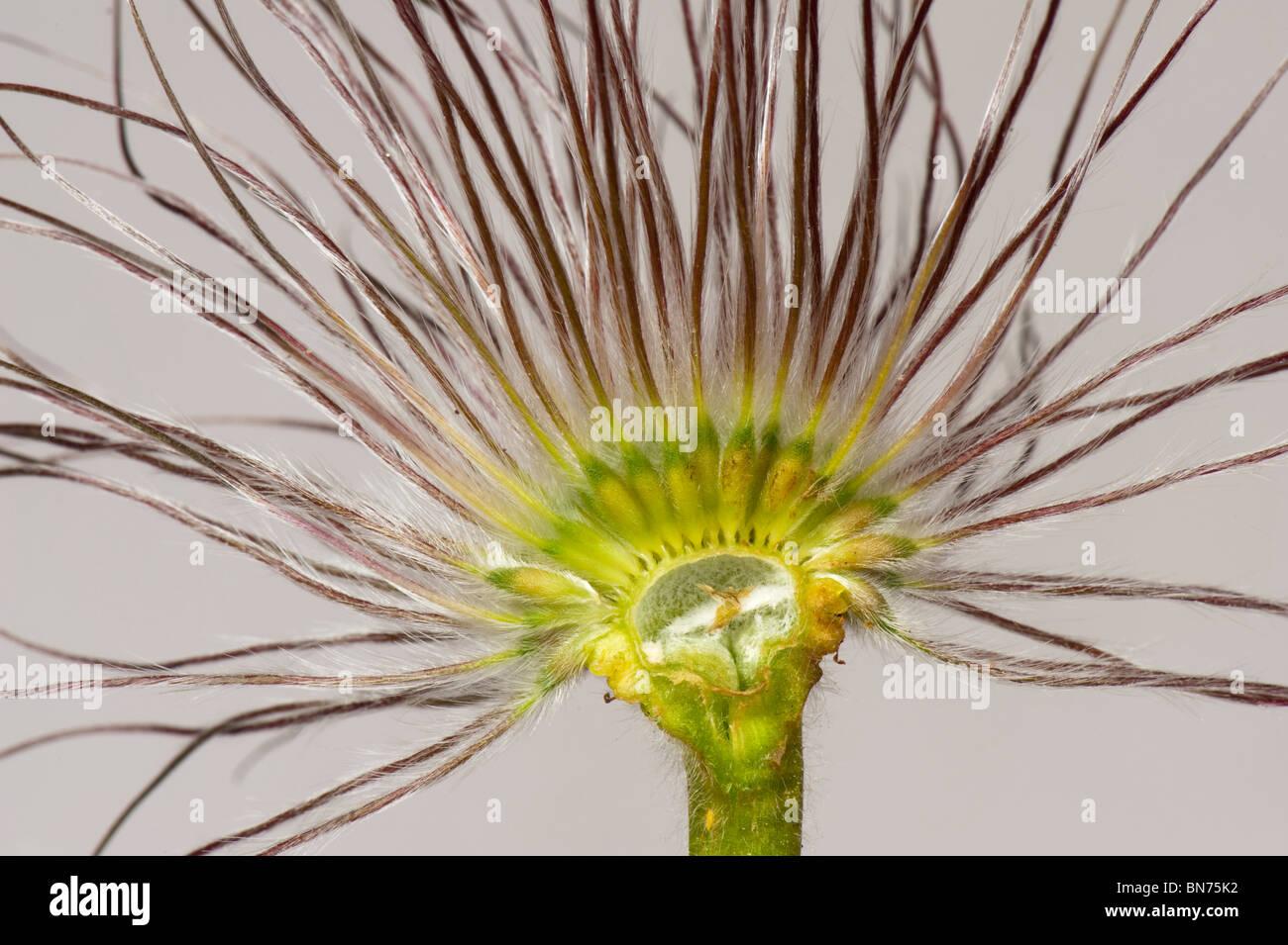 Pasque flower (Pulsatilla vulgaris) seedhead section - Stock Image