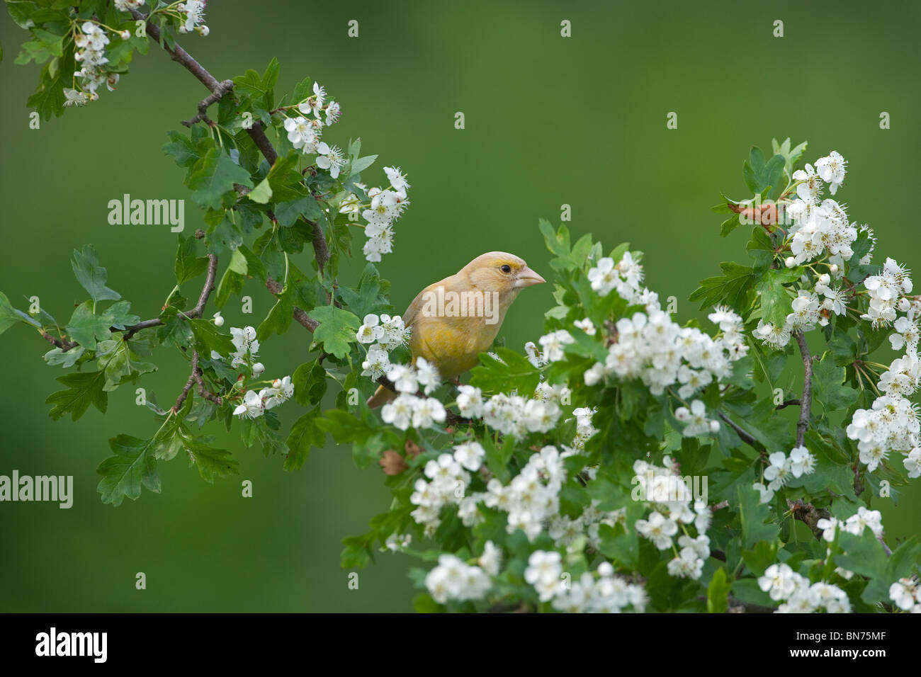 Green Finch Carduelis chloris on Spring Blossom abnormal variation - Stock Image