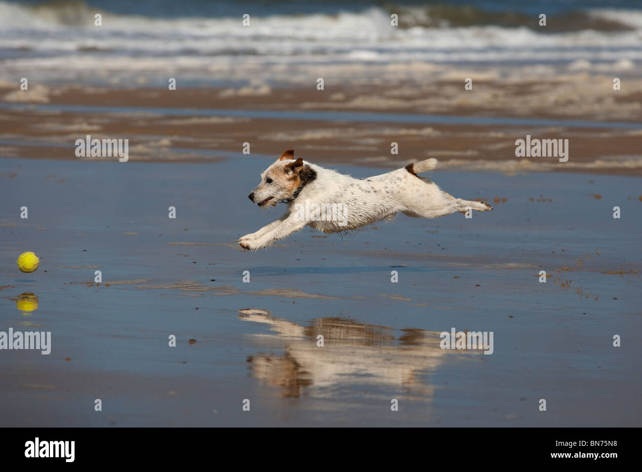 Jack Russell Terrier running on beach and reflected in wet sand - Stock Image