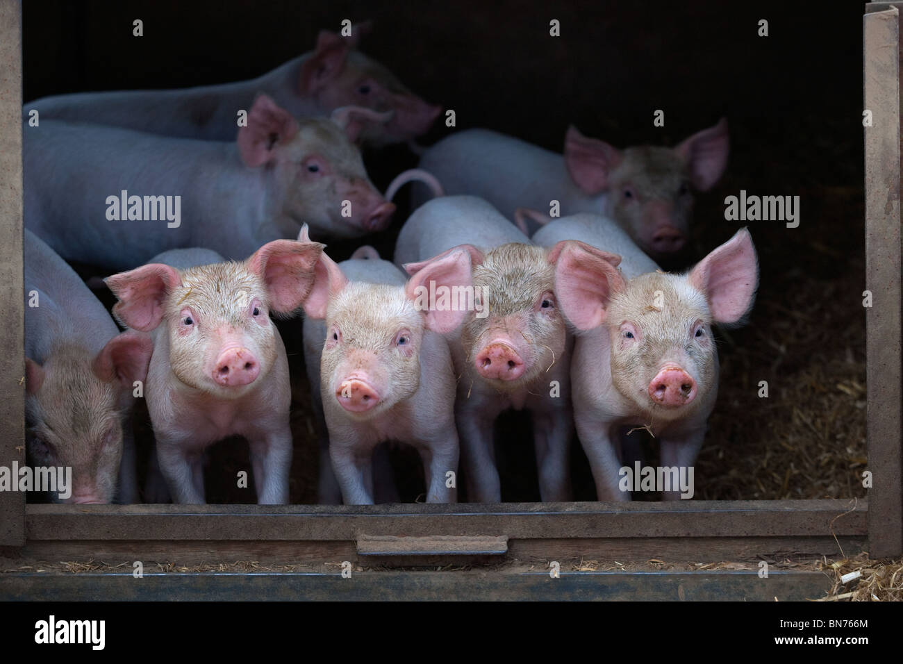 Free range Piglets at 4 weeks old looking from sty - Stock Image