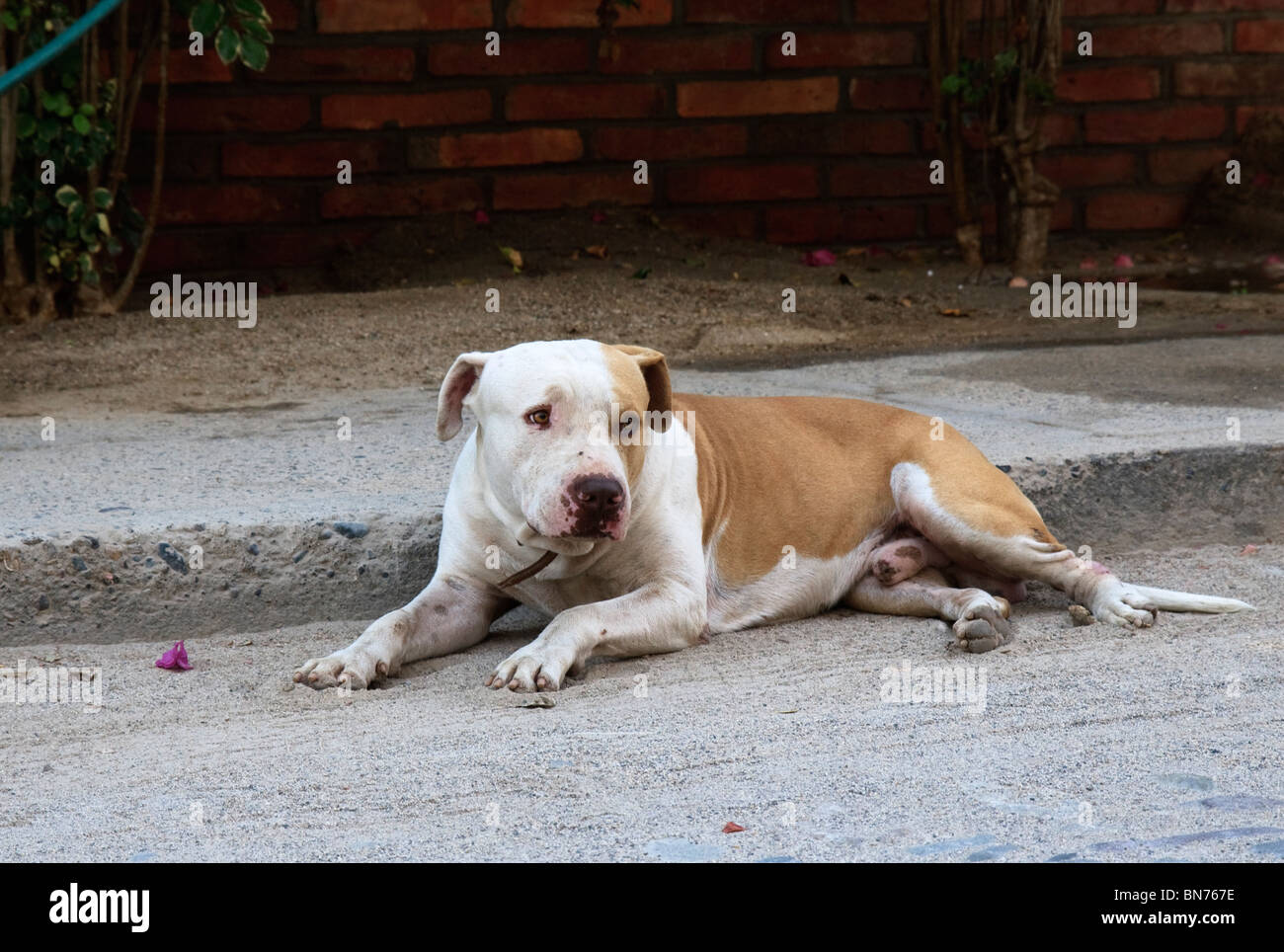 Pit Bull terrier  lying on a street of Bucerias, State of Nayarit, Mexico - Stock Image