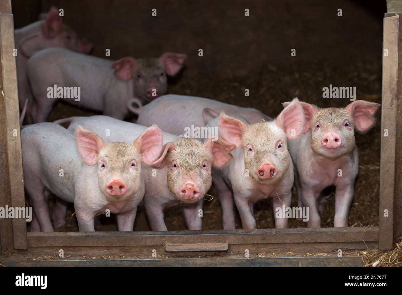 Free range Piglets at 4 weeks old in a row - Stock Image