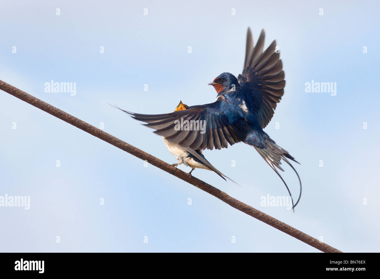 Swallows Hirundo rustica pairing on telephone line - Stock Image