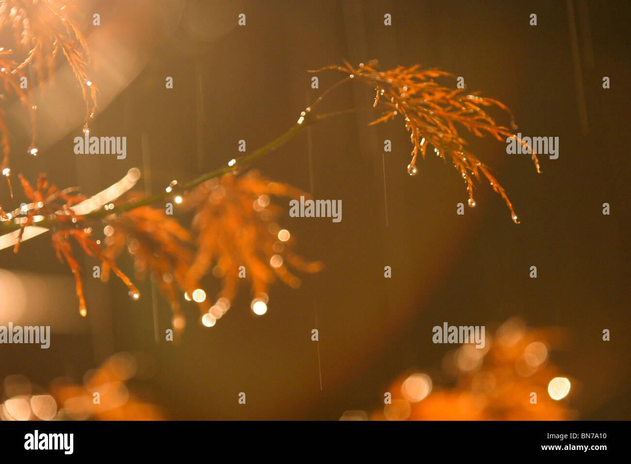 rain drops falling on orange Japanese maple tree leaves, at night. - Stock Image