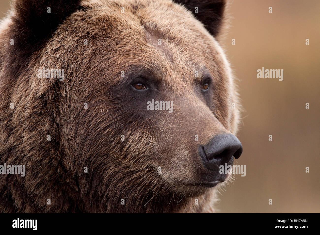 CAPTIVE: Portrait of an adult Grizzly bear, Alaska Wildlife Conservation Center, Alaska - Stock Image