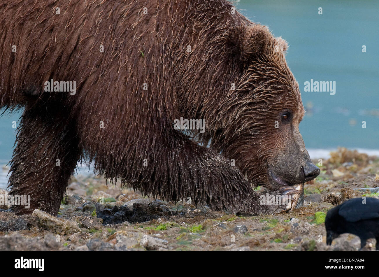 Brown bear prys open a clam in Geographic Harbor, Katmai National Park, Alaska - Stock Image