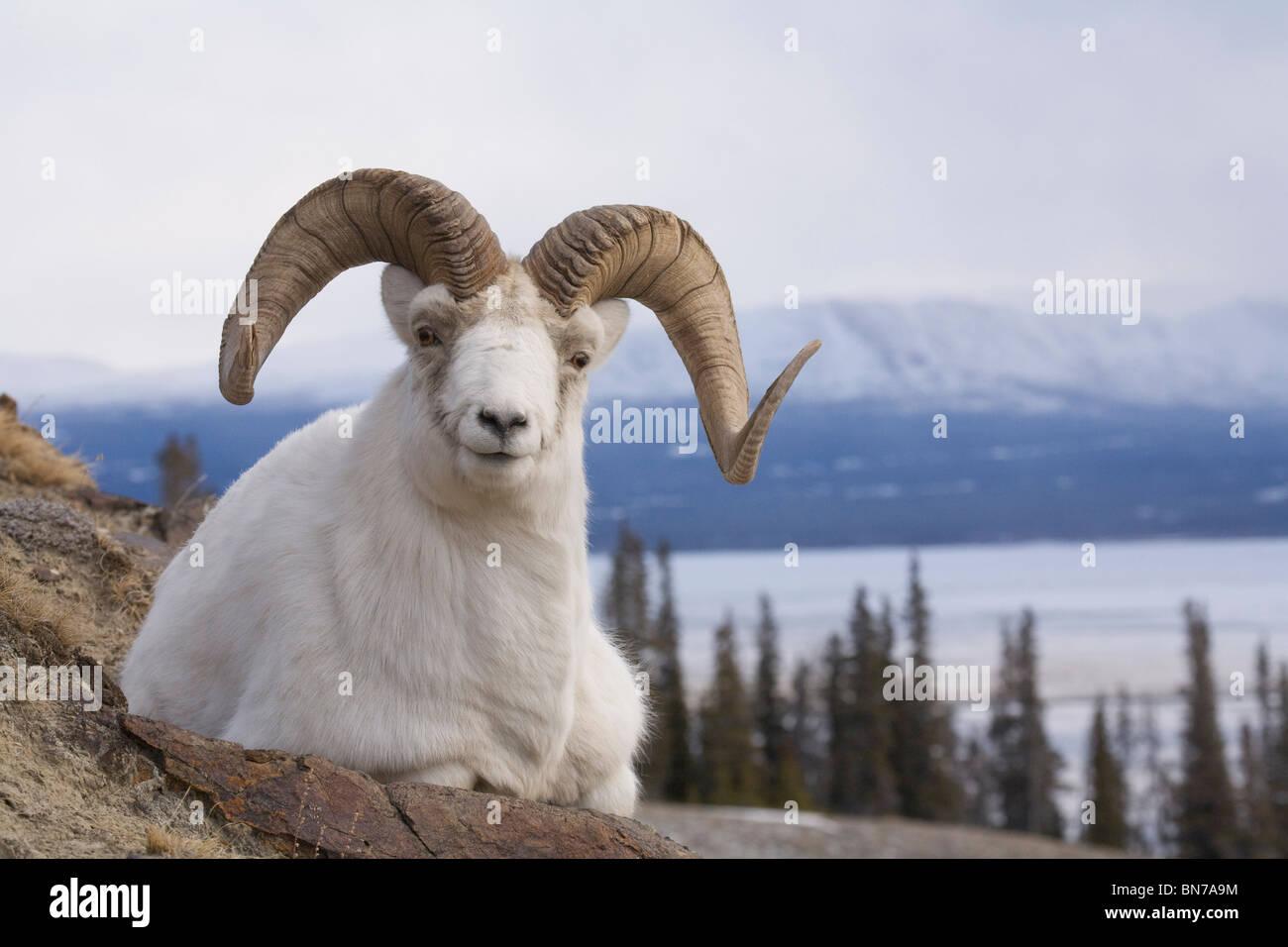 Dall Sheep ram bedded down on Sheep Mountain overlooking Kluane Lake in Kluane National Park, Yukon Territory, Canada - Stock Image