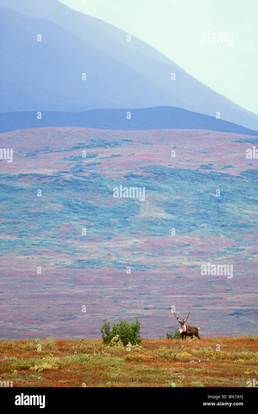 Bull caribou on Autumn tundra with Alaska Range foothills in the background, Denali National Park, Alaska - Stock Image