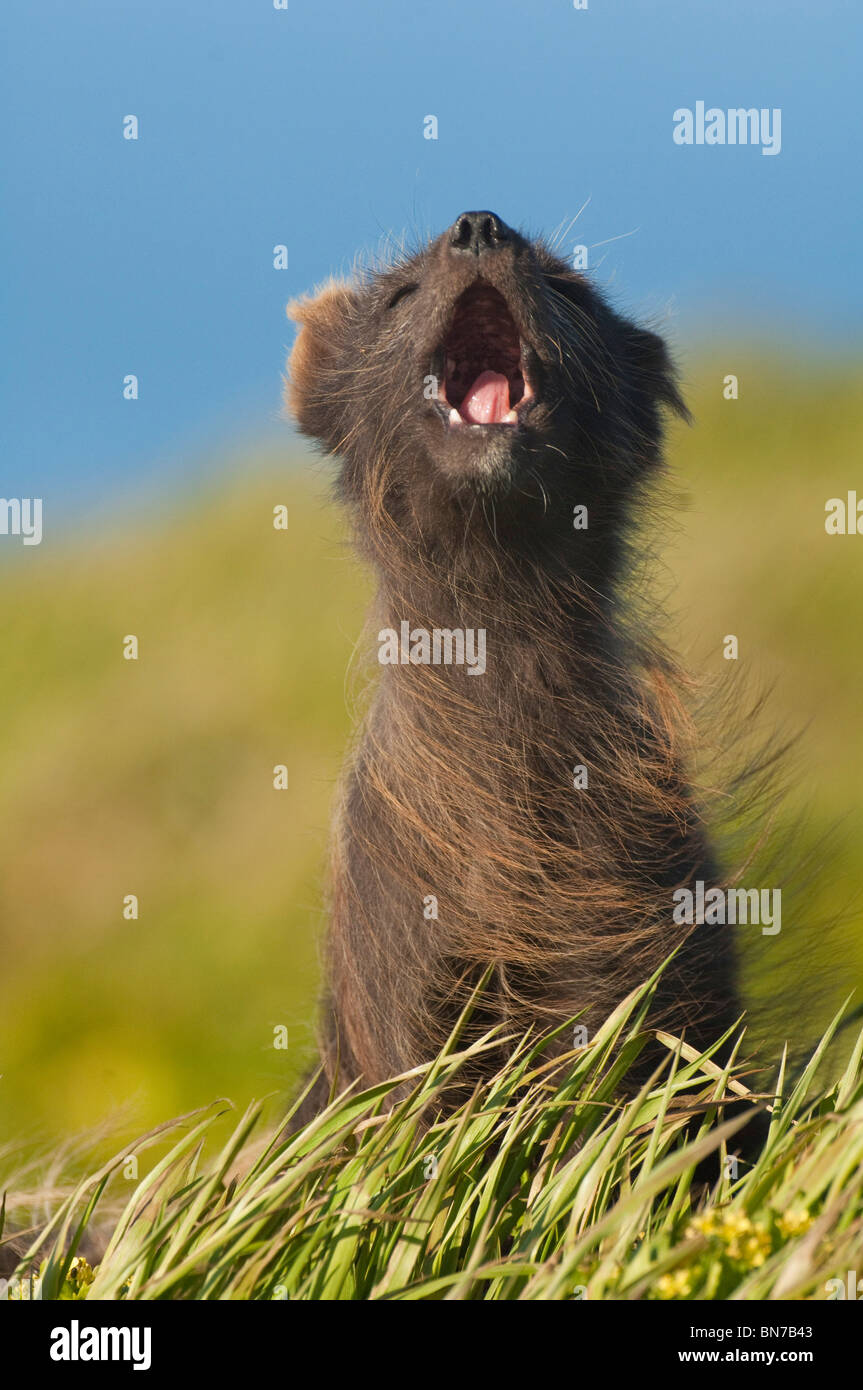 Arctic Fox howling on St. George Island on a windy day in Alaska during Summer - Stock Image