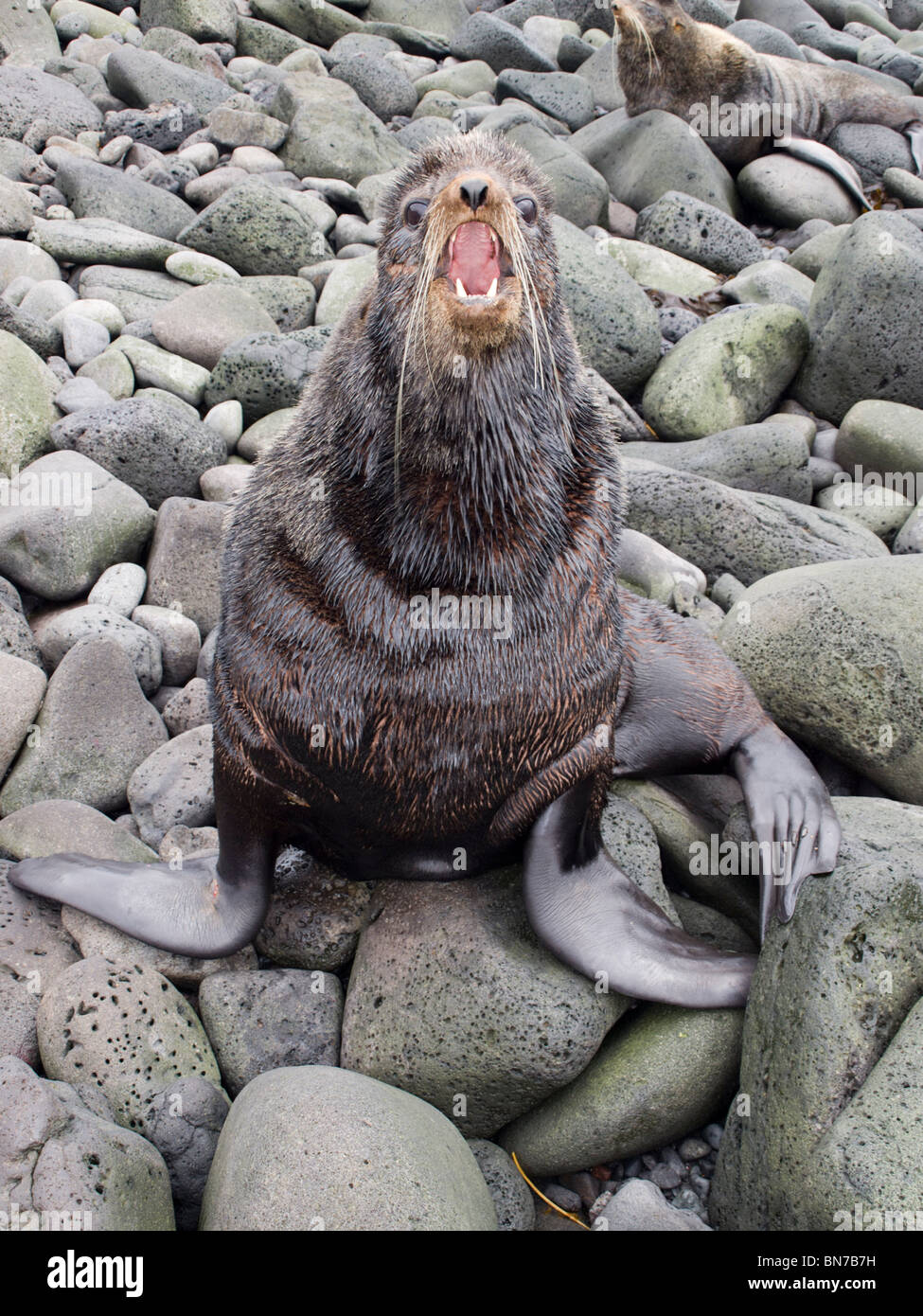Bull Northern Fur Seal  holding territory in breeding rookery, St. Paul Island, Alaska, Summer - Stock Image