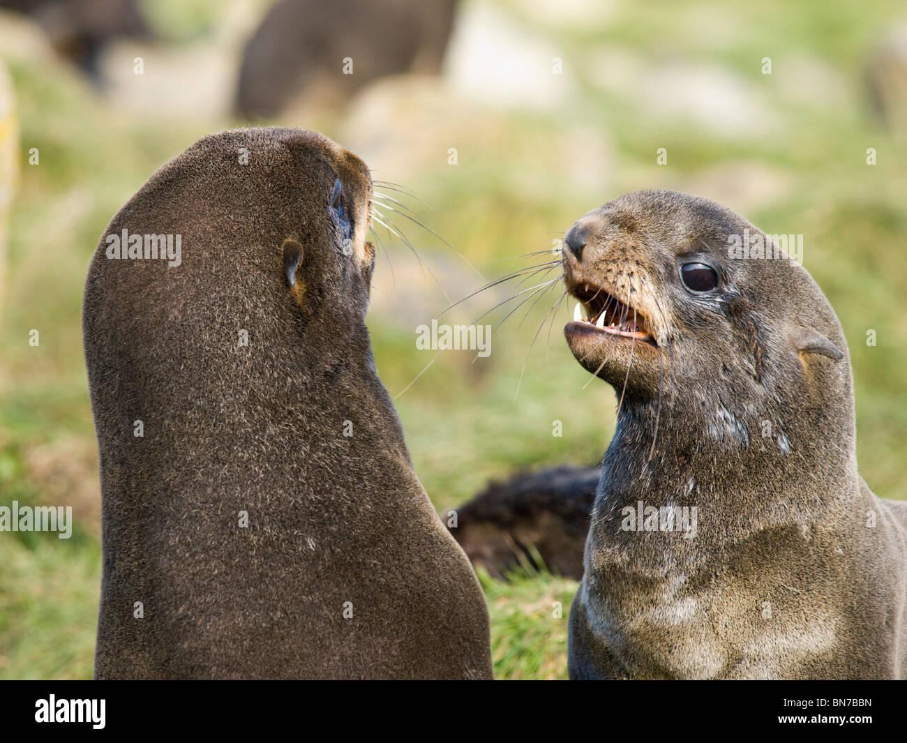 Two juvenile males Northern Fur Seals play fighting, St. Paul Island, Alaska, Summer Stock Photo