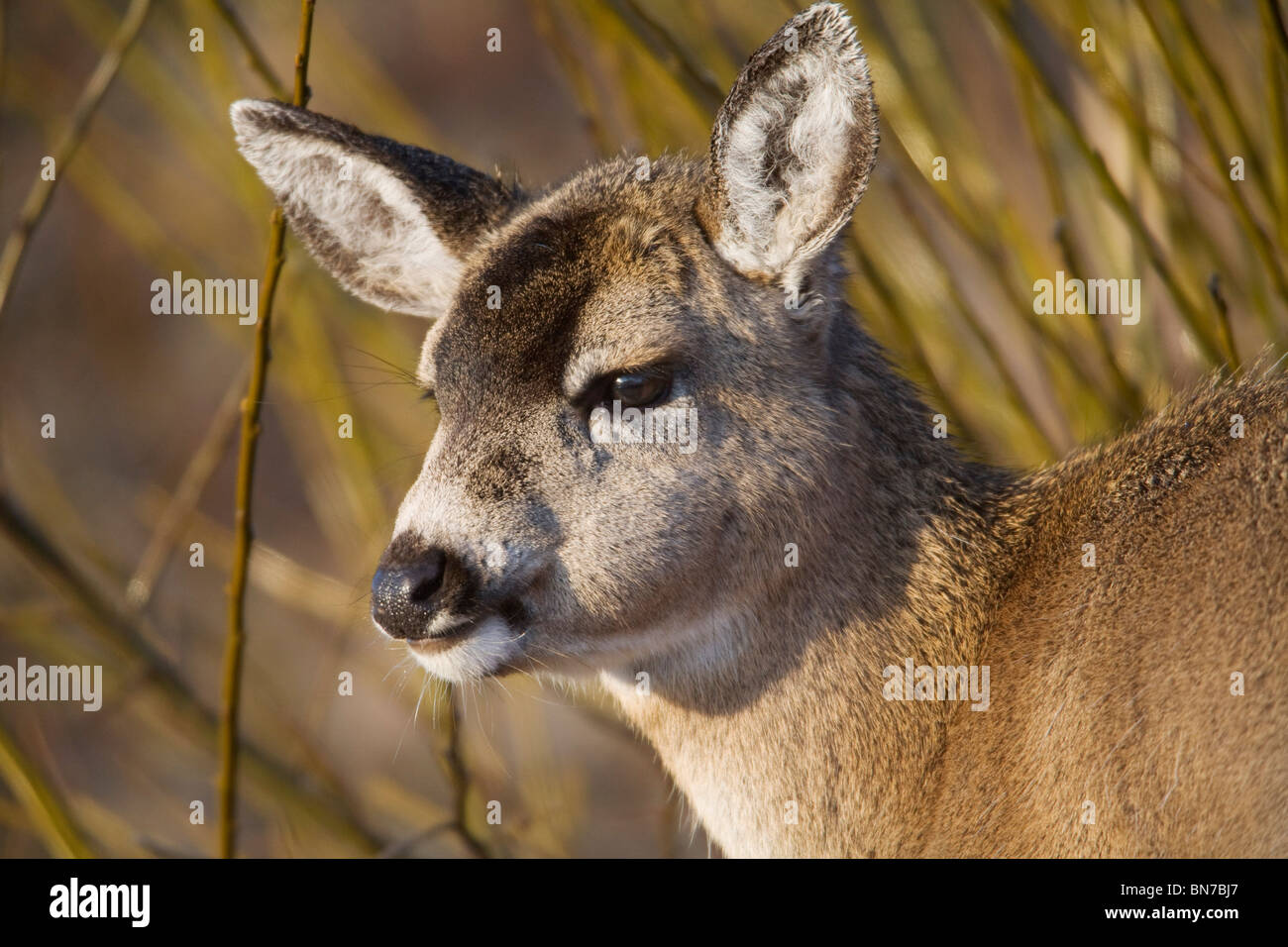 Close up of a Sitka Black-tailed deer fawn during Winter on Kodiak Island, Southwestern Alaska - Stock Image