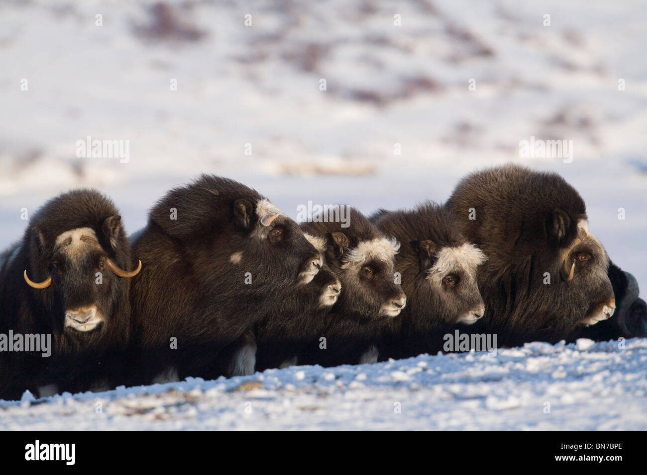 Musk-ox in a defensive lineup during Winter on the Seward Peninsula near Nome, Arctic Alaska - Stock Image