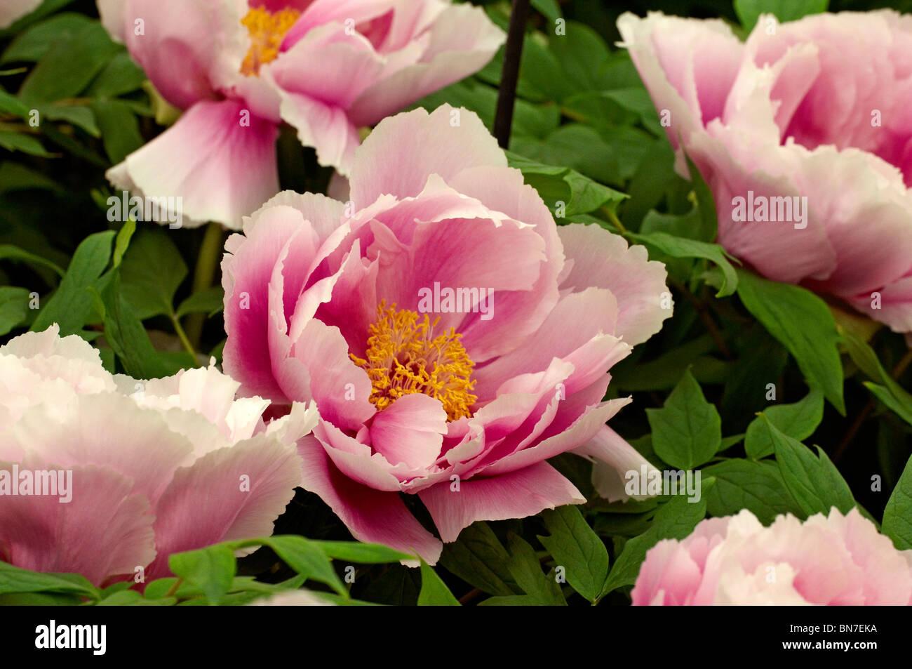 Tree Peony 'Shimano fuji' in flower - Stock Image