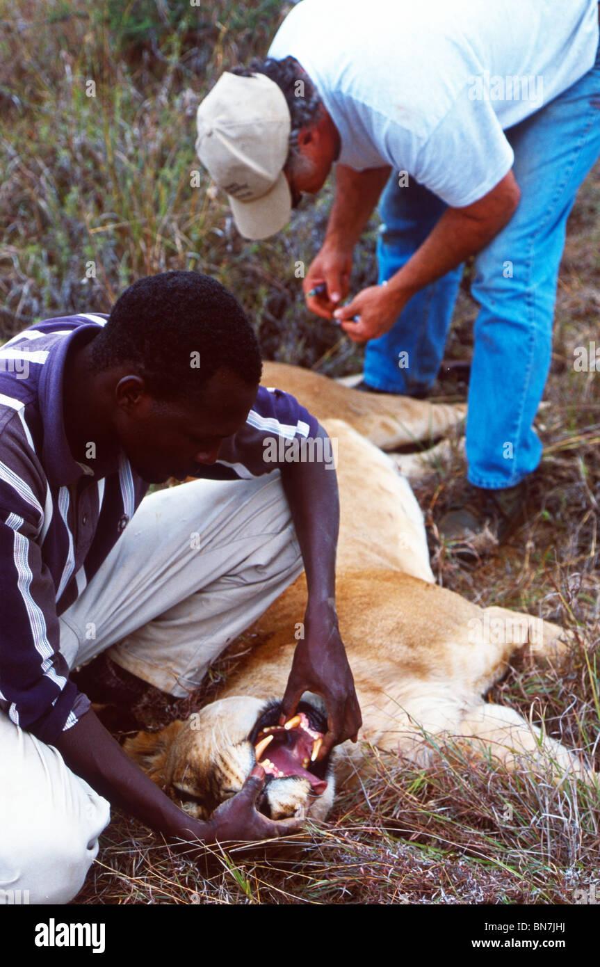 Researcher checks the teeth of an anaesthetised female lion (Panthera leo), Loisaba, Laikipia Plateau, Kenya - Stock Image