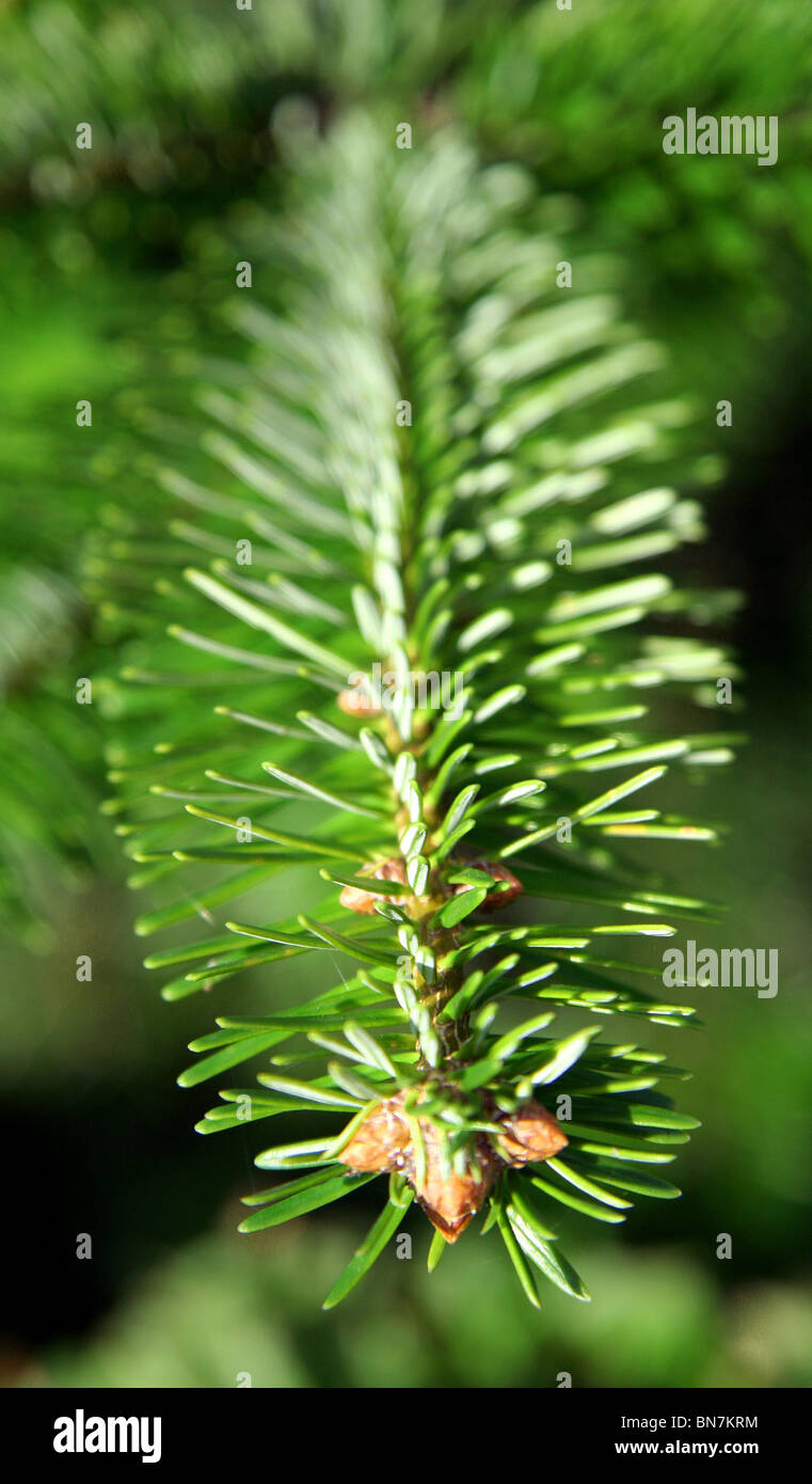Branch, conifer tree. - Stock Image