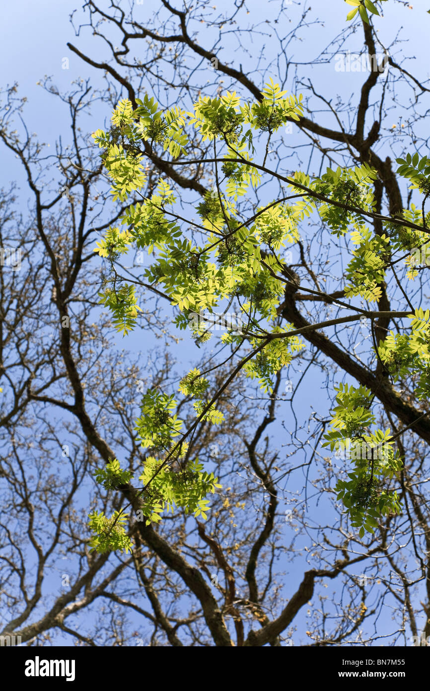 Ash tree leaves with blue sky background - Stock Image